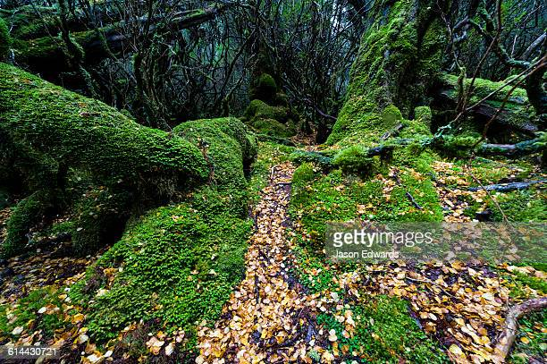 Fallen leaves from a deciduous Beech carpet the moss covered floor of a cool temperate rainforest.