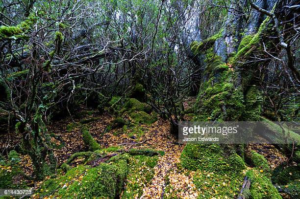 fallen leaves from a deciduous beech carpet the moss covered floor of a cool temperate rainforest. - foresta temperata foto e immagini stock