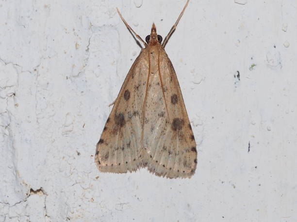 Crambid Snout Moth (Udea numeralis)