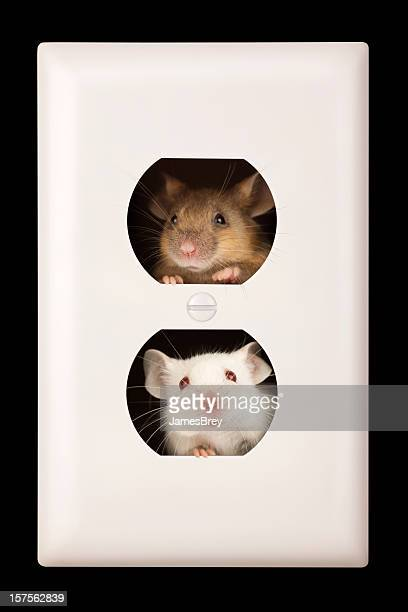 cramped personal space; mice living in electrical outlet - pest stock photos and pictures