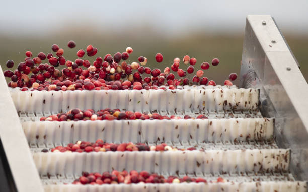 CAN: Operations On A Cranberry Farm As Producers Face Worker Shortage