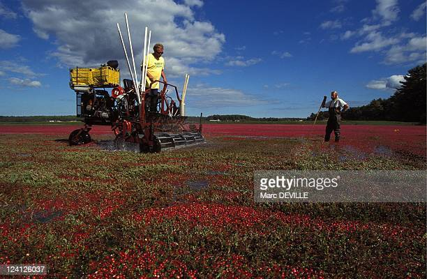 Cranberries Harvest In Massachusetts United States In October 1995 The Cranberry harvest is a spectacular moment in the eastern United States...