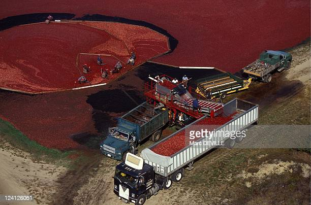 Cranberries Harvest In Massachusetts United States In October 1995 The Cranberry harvest that is generally coinciding with Indian summer that adds...