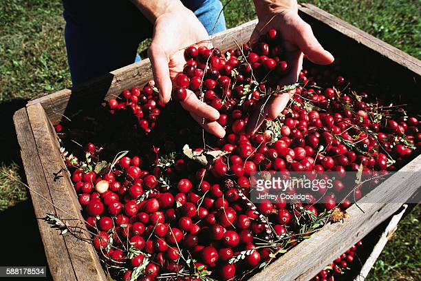 Cranberries in Crate