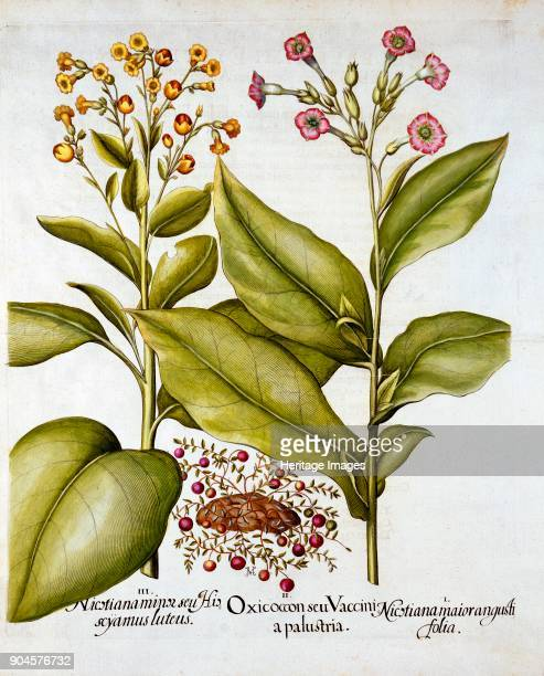 Cranberry and Flowering Tobacco from 'Hortus Eystettensis' by Basil Besler pub 1613 I Nicotiana maior angusti folia II Oxicoccon seu Vaccinia...