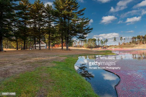 cranberry bog, carver, massachusetts - eastern white pine stock pictures, royalty-free photos & images