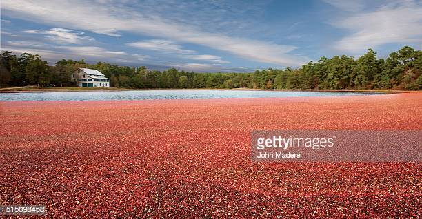 cranberry bog new jersey - cranberry harvest stock pictures, royalty-free photos & images