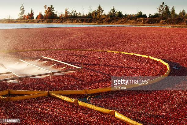 cranberry farm harvesting for thanksgiving hz - cranberry harvest stock pictures, royalty-free photos & images