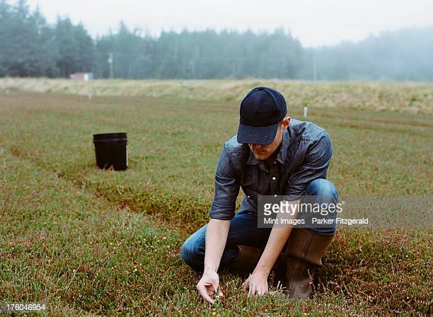 a cranberry farm in massachusetts. crops in the fields. a young man working on the land, harvesting the crop. - agricultural activity stock pictures, royalty-free photos & images