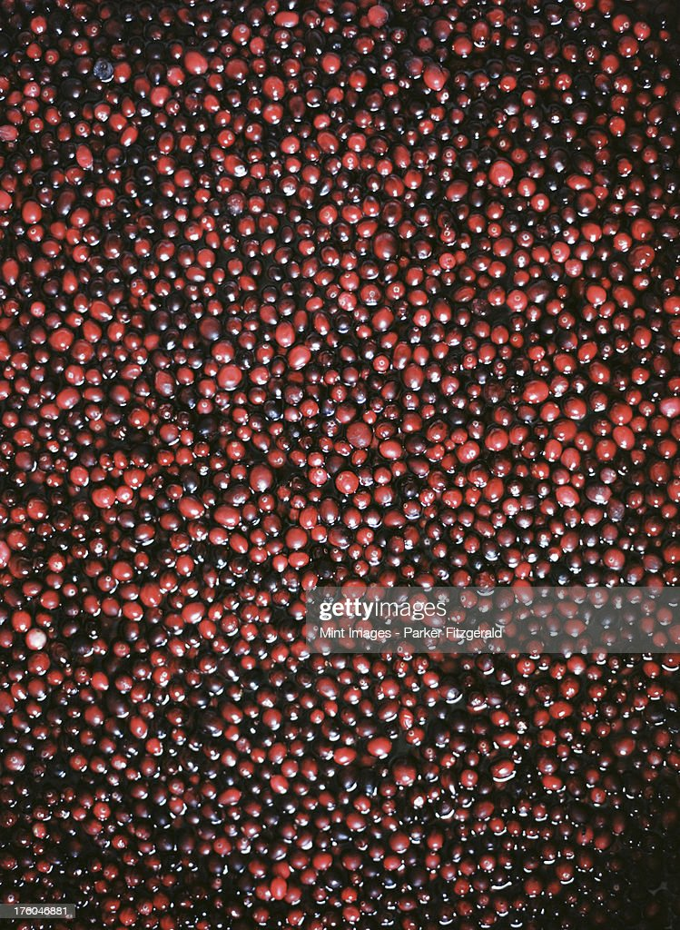 A cranberry farm in Massachusetts. The crops, small round red berries in water. : Photo