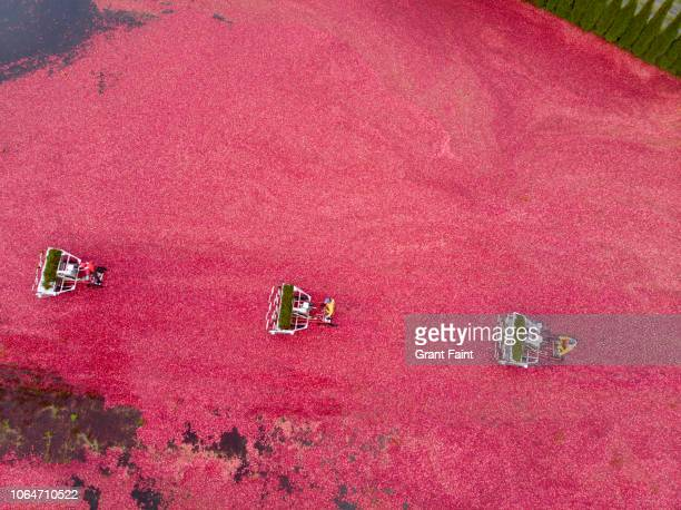 cranberry harvest , drone view - cranberry harvest stock pictures, royalty-free photos & images