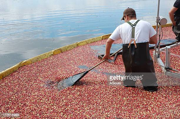 Cranberry harvest in NJ