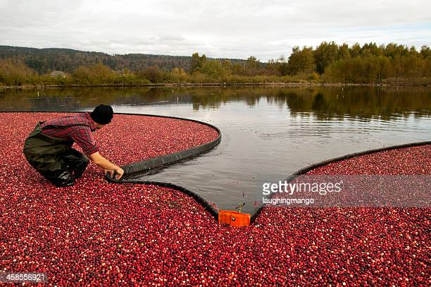 cranberry harvest - cranberry harvest stock pictures, royalty-free photos & images