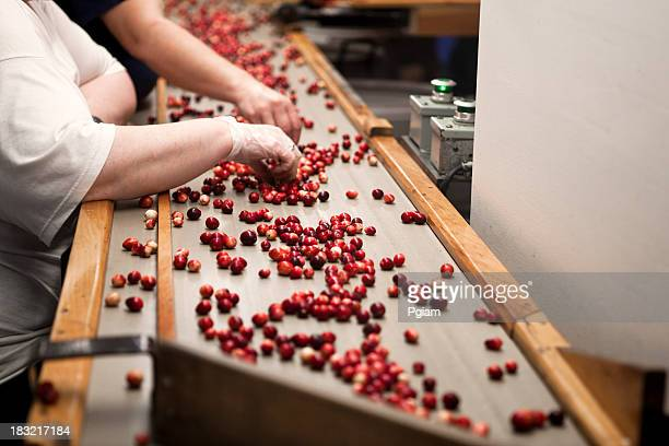 cranberry harvest sorters - cranberry harvest stock pictures, royalty-free photos & images