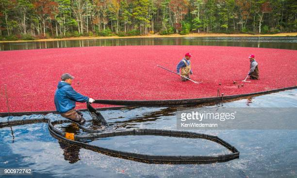 Cranberry Harvest Team