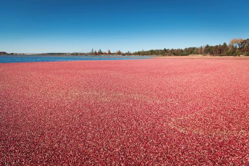 Cranberry Marsh Harvest Season Hz 171357514