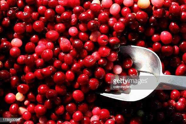 cranberry - cranberry harvest stock pictures, royalty-free photos & images