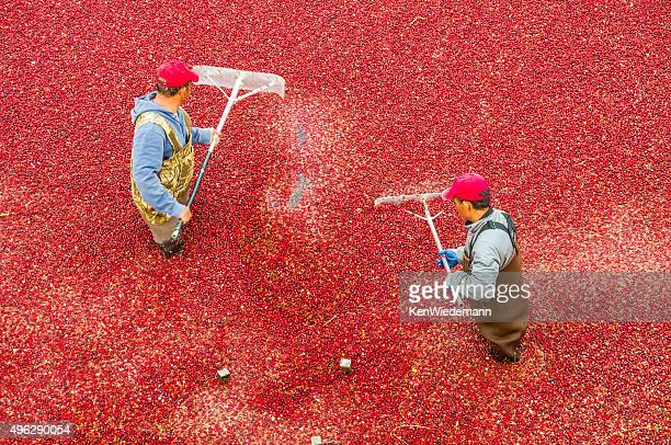 cranberry rakers - cranberry harvest stock pictures, royalty-free photos & images