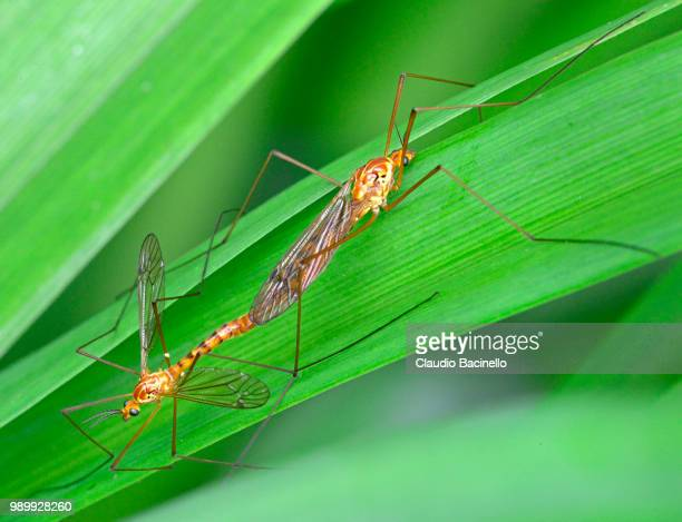 crane flies mating - accoppiamento animale foto e immagini stock