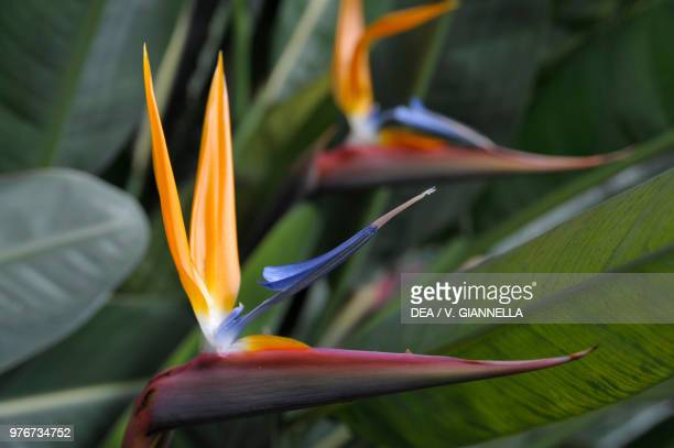 Crane Flower or Bird of Paradise Strelitziaceae Cervara Abbey Italian Garden Monte di Portofino Liguria Italy