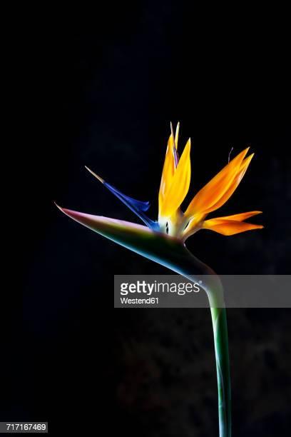 Crane flower