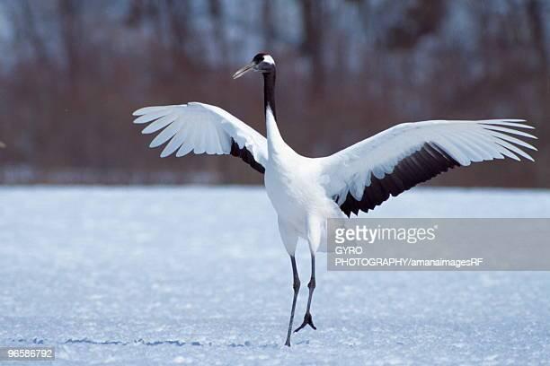 crane on the snowy land, kushiro city, hokkaido prefecture, japan - japanese crane stock pictures, royalty-free photos & images