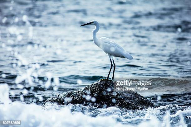 crane perching on rock amidst sea - crane bird stock pictures, royalty-free photos & images