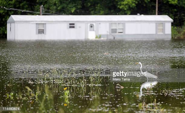 A crane searches for food in the Mississippi River floodwaters May 21 2011 in Vicksburg Mississippi The Mississippi crested downstream at a record...