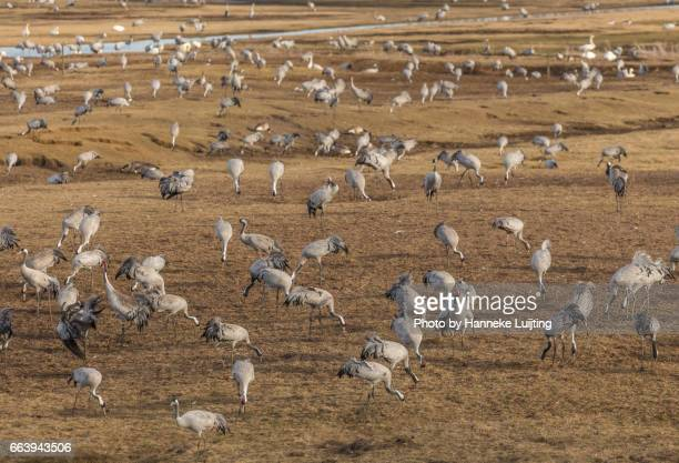 Crane Spring Migration at Lake Hornborga