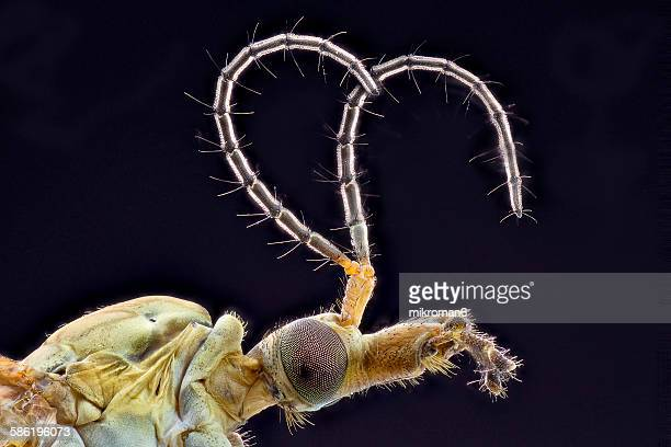 Crane-fly close up
