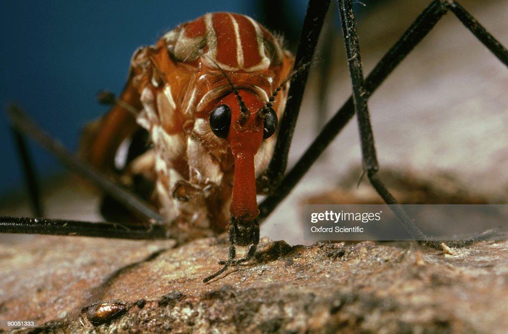 cranefly, clytocosmus edwardsi, cu head, australia : Stock Photo