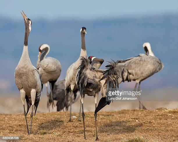 Cranes at Lake Hornborga
