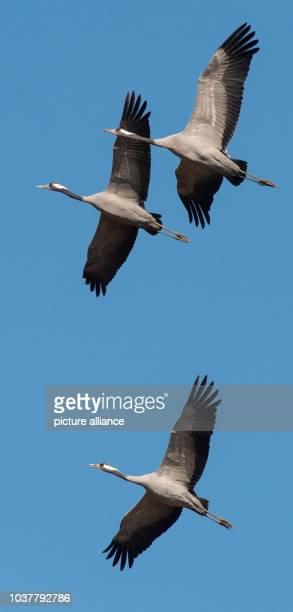 Cranes fly through the sky near the NaturErlebniszentrum at the Heinz Sielmann Foundation in Wanninchen near Luckau Germany 23 September 2014 The...