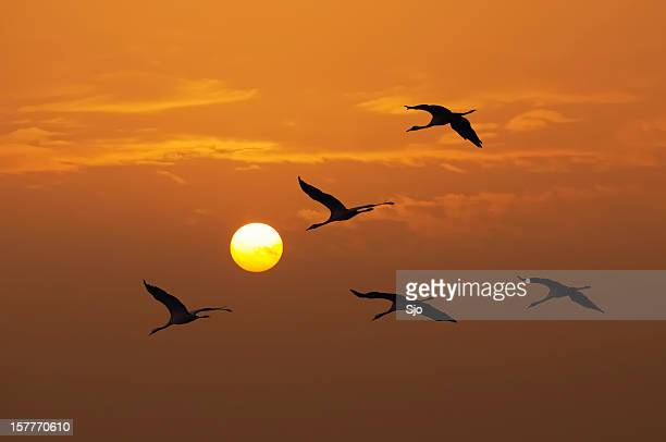 Cranes in a sunset