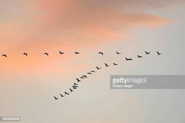 cranes (grus grus) in flight, brandenburg, germany - vogelschwarm formation stock-fotos und bilder
