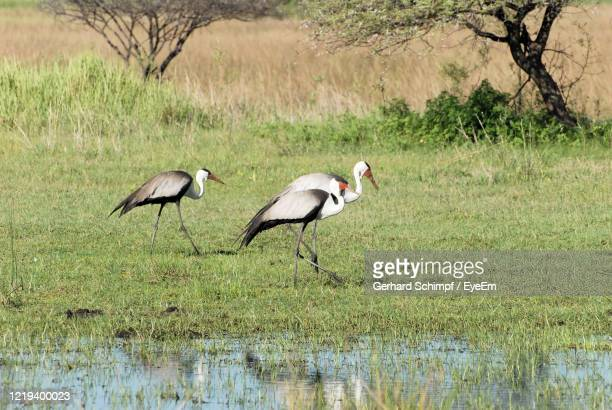 cranes on a lake - gerhard schimpf stock pictures, royalty-free photos & images
