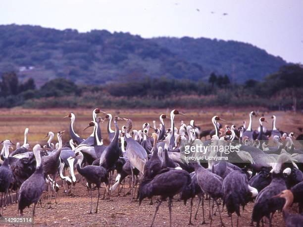 cranes - 鹿児島県 ストックフォトと画像