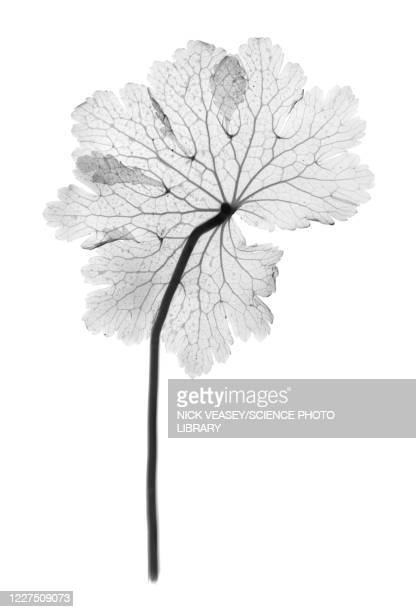 cranesbill leaf, (geranium sp.), x-ray - cardiovascular system stock pictures, royalty-free photos & images