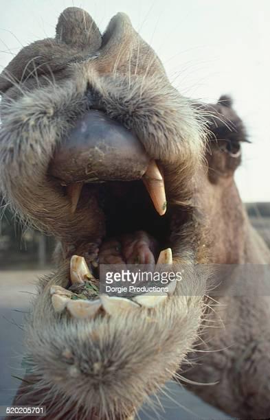 Cranky angry camel close up portrait