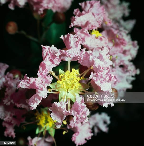 Crape myrtle Crepe myrtle Lythraceae