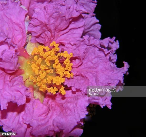 Crape Myrtle or Crepe Myrtle pink flower