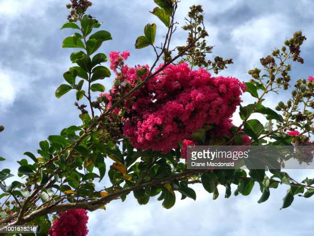 crape (or crepe) myrtle or lagerstroemia - crepe myrtle tree stock pictures, royalty-free photos & images