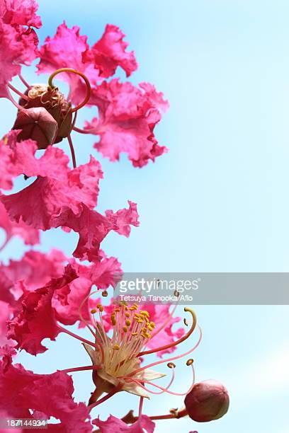 crape myrtle - crepe myrtle tree stock pictures, royalty-free photos & images