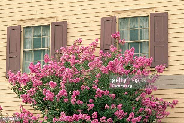crape myrtle plant next to a yellow house - crepe myrtle tree stock pictures, royalty-free photos & images