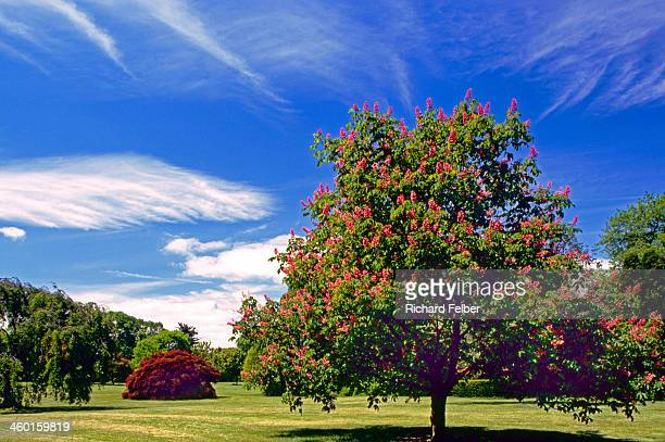 crape myrtle tree at planting fields arborettum - crepe myrtle tree stock pictures, royalty-free photos & images