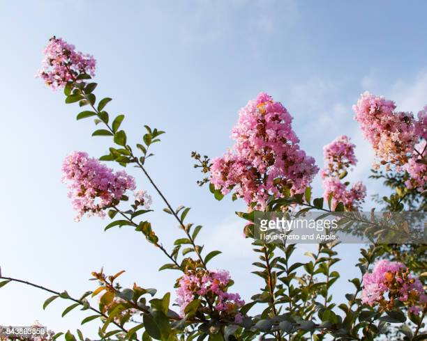 crape-myrtle - crepe myrtle tree stock pictures, royalty-free photos & images
