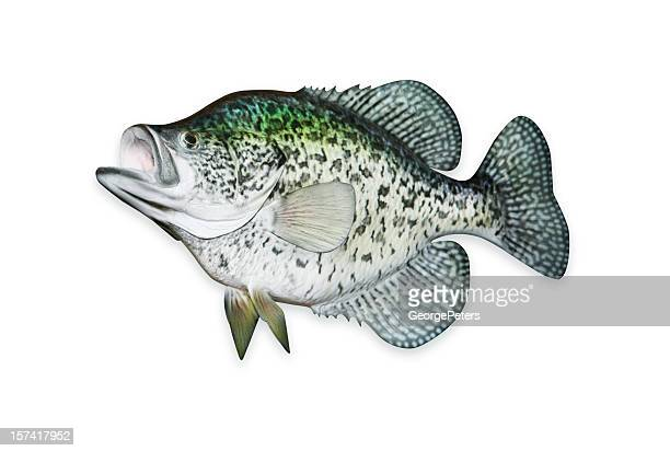 crappie with clipping path - crappie stock pictures, royalty-free photos & images