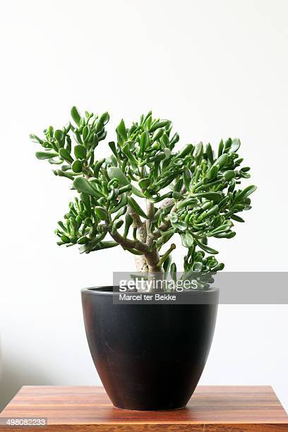 crassula houseplant - money tree stock photos and pictures