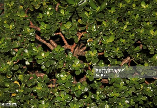 crassula ovata - jade plant - friendship tree - lucky plant - money tree - money tree stock photos and pictures