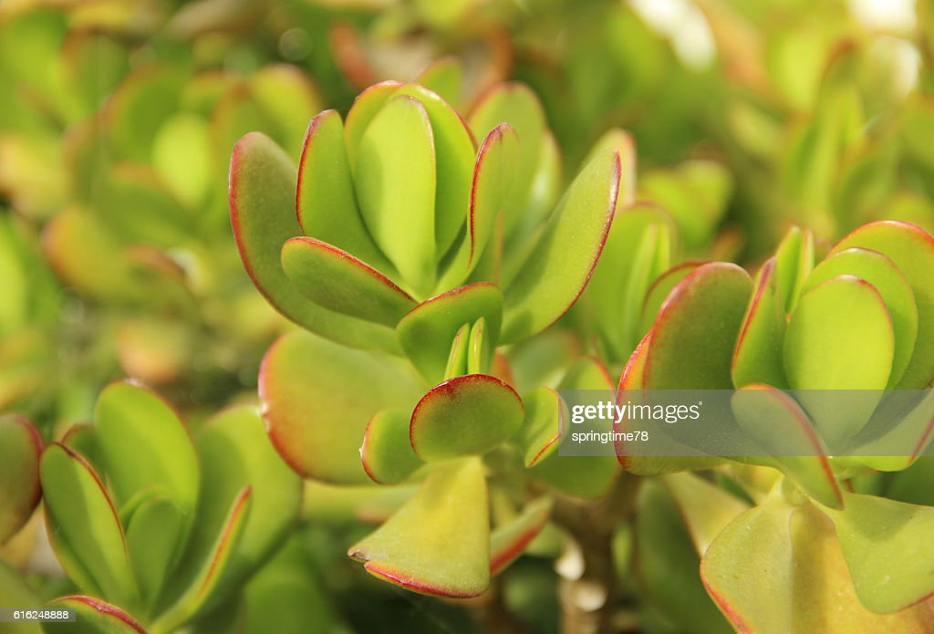 Crassula : Foto de stock